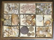 Victorian/Edwardian Shell Collection