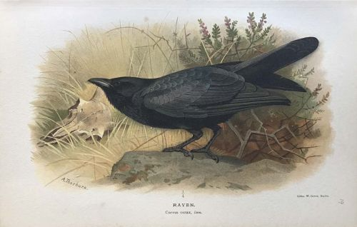 Coloured Figures Of The Birds Of The British Isles.